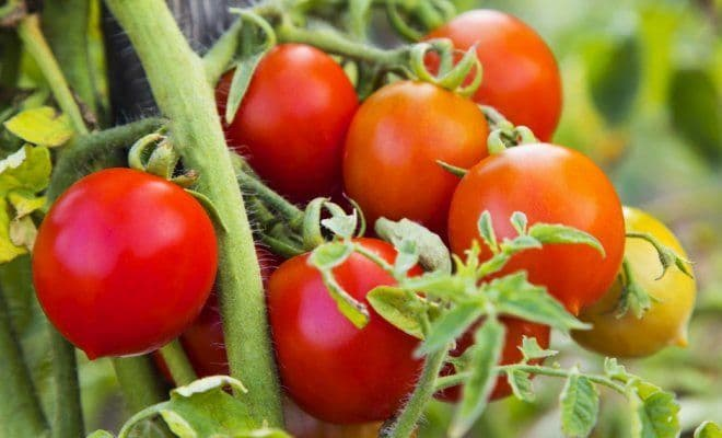 Самые простые секреты для выращивания лучших помидор