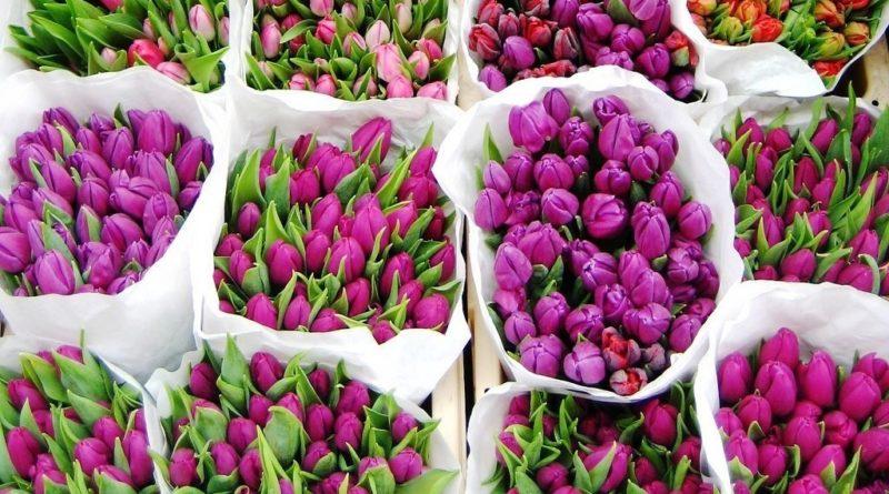 Выгонка тюльпанов к зимним праздникам