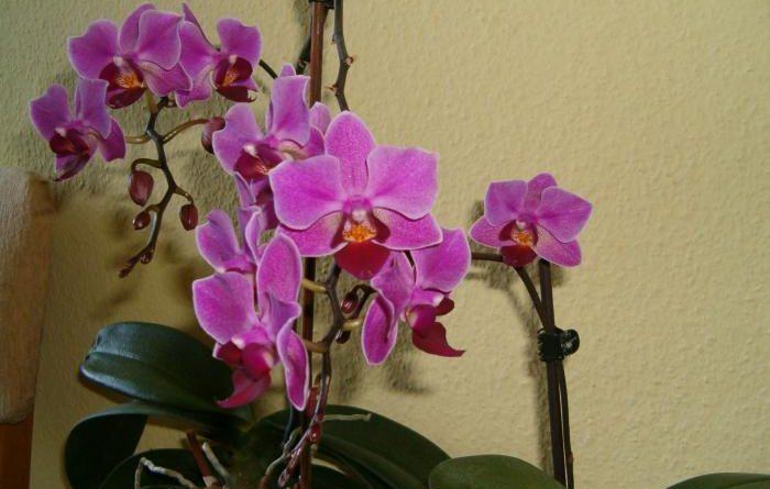 Орхидея – экзотика у вас дома