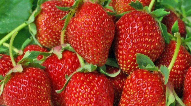 Клубника, земляника, черешня – собираем ранние сорта ягод