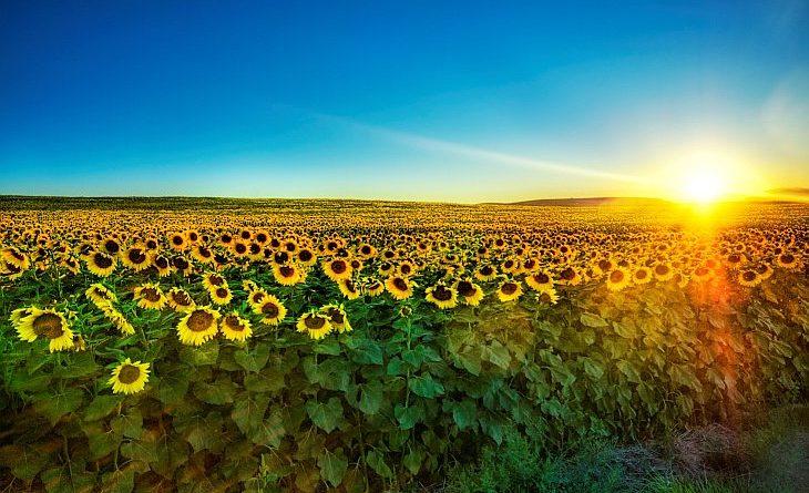 Подсолнечник или «цветок солнца»