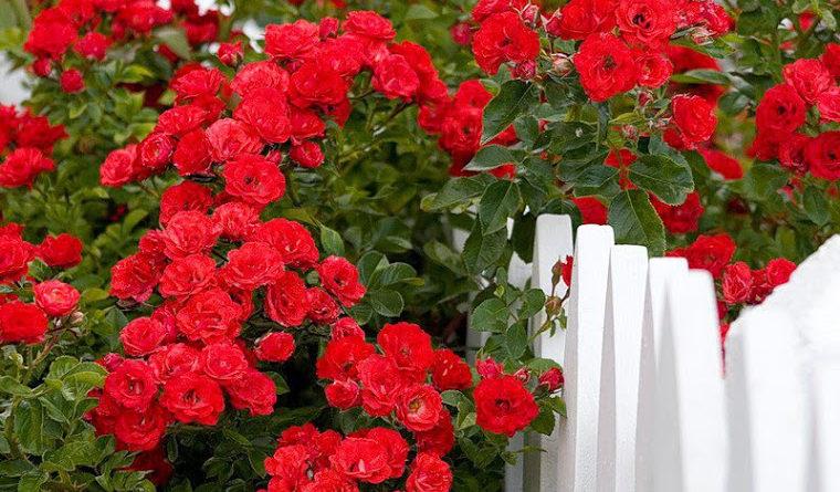 Уход за цветами. Роза
